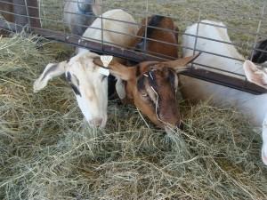 Nicolau Farms Goats