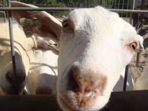 Nicolau Farms Goat Raising