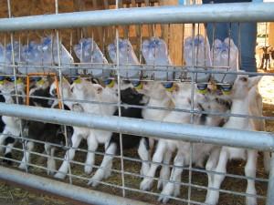 Raising Kid Goats