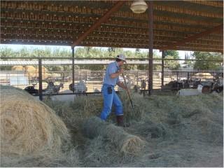 feeding-hay-to-goats